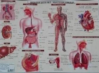 Plansa Biologie scolara - Anatomia omului
